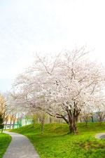 公園の桜の木1