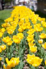 日本 北海道 札幌 黄色のチューリップ