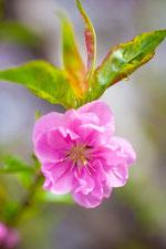 鮮やかな桜2