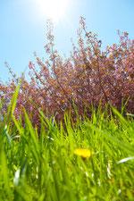 芝生より たんぽぽと桜と青空と
