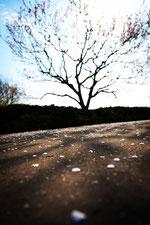 散り落ちる梅のはなびら