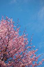 日本 北海道 札幌 青空と桜