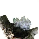 Blutlaus auf einem Blatt - Trüffelbaumschädling