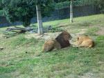 《ライオンの親子》