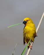 African Golden Weaver