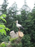 Depuis quelques jours, cette cigogne vient faire une pause sur le chêne étêté cet hiver - juin 2012