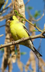 American Goldfinch. By Breck22 (Own work)*