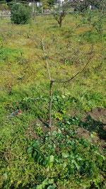 カルシウムの木