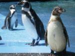フンボルトペンギン 餌付けできます