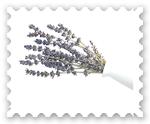 Lavendel Lavendelöl ätherisch ätherisches