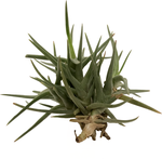 Tenuifolia Cocoensis