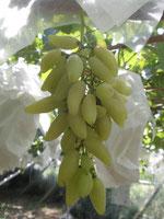 バナナ 葡萄