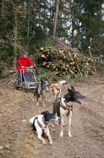 Rennpause mit Alaskan Huskies, Trainingswagen, Zughundesport