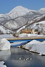 羅臼川の白鳥と羅臼岳