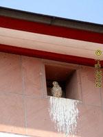 Turmfalke vor dem Nest