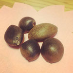 気仙沼大島のヤブツバキの種。この種を圧搾してオイルを抽出します。