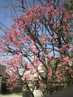 浅草寺境内の梅の花