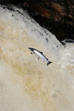 Saumon Atlantique - Salmo salar - Falls of Shin - Ecosse  - Juillet 2008