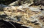 白色腐朽菌により腐朽した木材