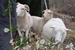Schafe ohne Schäfer :-)