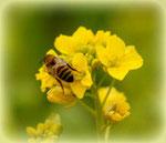 蜂蜜の免疫力効果