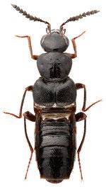 Creochara brevipennis