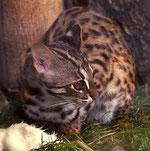 asiatische Leopardenkatze