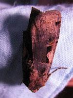 Schwarze C Eule (Rhyacia c-nigrum)