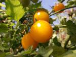 Primabella, gelbe,runde Früchte. Bild Bio Gärtnerei Kirnstötter