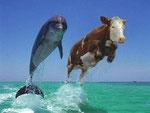Vache et dauphin