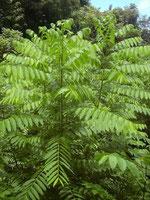 Cedro Baum