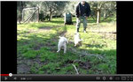 Cuccioli a 5 settimane - Puppies at 5 weeks