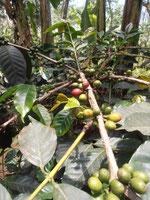 Kaffee - Gold des Kilimanjaro