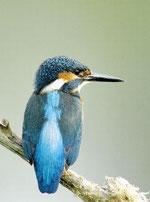 Eisvögel sind regelmäßig im Gebiet zu sehen - Foto: T.Dove