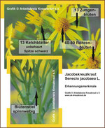 Senecio jacobaea (Jakobskreuzkraut) Grafik Blüte