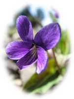 石地に咲く菫