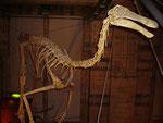 Skelett eines Gallimimus