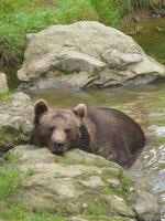 Braunbär im Nationalpark Bayerischer Wald