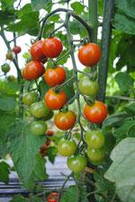 ミモレ農園 トマト