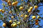 Baumfrüchte