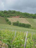 Der Rote Hang bei Nierstein und einzige Steillage im Anbaugebiet Rheinhessen.