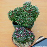 Mammillaria caterpincy und painter