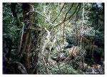 El mimbre en la jungla de Indonesia