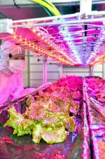 LEDを使った野菜栽培を行っているタイヨー電子=福井県鯖江市石田上町のタイヨー電子技術開発センター