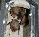 Häufigste Fledermausart im Fledermauswald war bei der diesjährigen Kastenkontrolle die Rauhhautfledermaus.