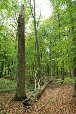 """Abgestorbene Buche im """"Fledermauswald"""". Das morsche Holz bietet einer Vielzahl von Insekten - und damit auch Spechten - Nahrung und Lebensraum."""