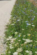 Blütenreicher Wegsaum mit Wilder Möhre und Wegwarte - reiches Nahrungsangebot für Insekten und schön anzusehen.