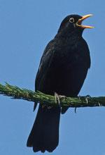 """In den vergangenen Jahren unter den """"Top 3"""" der Gartenvögel vertreten: Die Amsel. Foto: F. Hecker/NABU"""