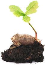 Life at work: an acorn transforming into an oak.