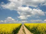 Weg durch ein gelb blühendes Rapsfeld vor Himmel mit schönen weißen Wolken